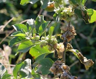 Withania somnifera (L.) Dunal.