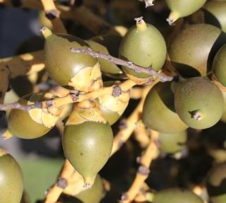 Wodyetia bifurcata. Fruits.