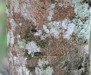 Xylopia richardii Boivin ex Baill.