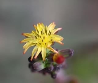 Youngia japonica. Lastron bâtard.