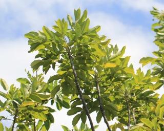 Zanthoxylum heterophyllum (Lam.) Sm.