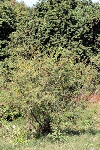 Acacia farnesiana (L.) Willd.