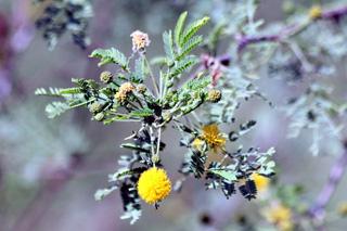 Acacia farnesiana. Zépinard.