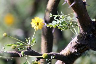 Fleur Acacia farnesiana.