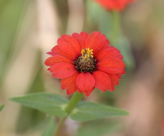 Fleur de La Réunion.
