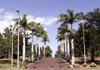 Roystonea regia (Kunth) O.F.Cook