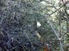 Asparagus umbellulatus Bresler