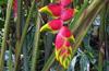 Heliconia rostrata Ruiz & Pav