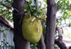 Artocarpus heterophyllus Lam