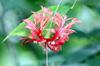 Hibiscus schizopetalus (Dyer) Hook.f