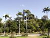 Palmier colonne, Caraïbes Royal Palm