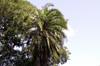 Palmier du Sénégal, Phœnix du Sénégal