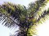 Dypsis madagascariensis (Becc.) Beentje et J. Dransf