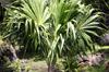 Thrinax radiata Lodd. ex J.A. & J.H. Schultes