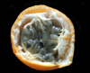 Passiflora ligularis Juss Grenadelle,  grenadille douce