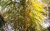Raphia farinifera (Gaertn.) Hyl