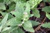 Heliotropium amplexicaule Vahl