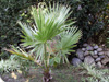 Washingtonia filifera (Linden ex André) H.Wendl