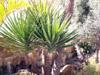 Yucca gigantea Lem