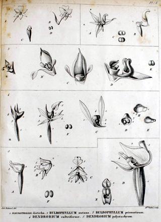 Achille Richard. Monographie des Orchidées des îles de France et de Bourbon