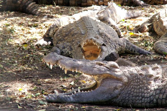 Croc Parc Ferme crocodiles Étang-Salé La Réunion