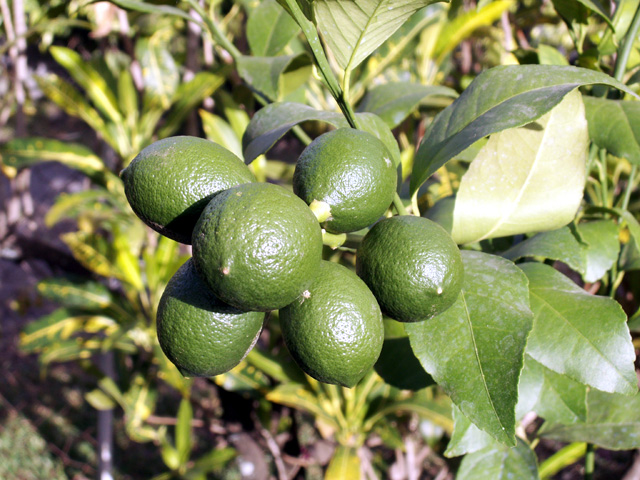 Citrons : Citronnier 4 Saisons. Citrus limon Eureka