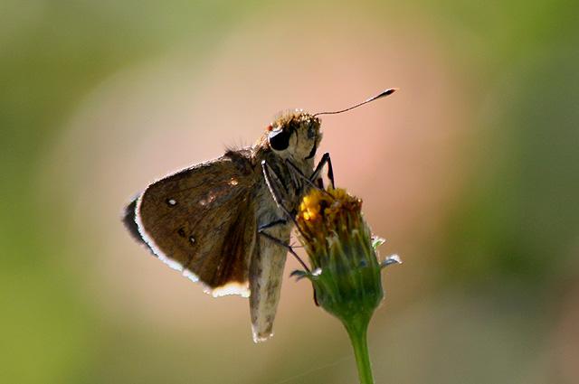 Borbo borbonica (Boisduval, 1833). Papillon de La Réunion