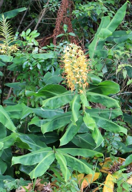 edychium gardnerianum.