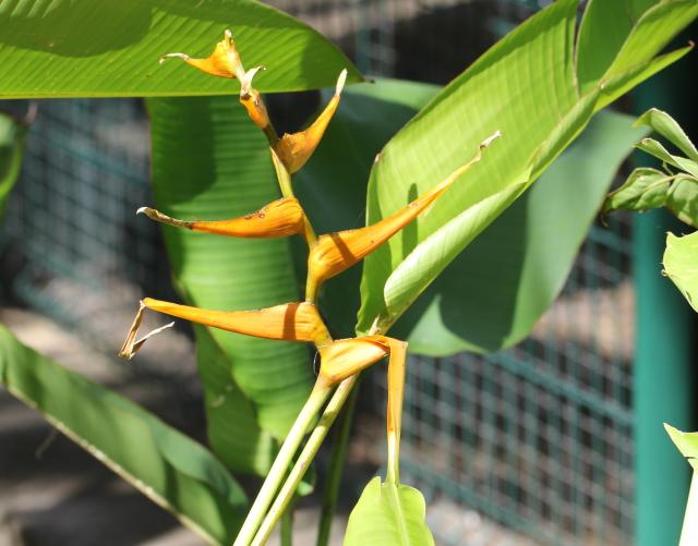 Heliconia latispatha Benth