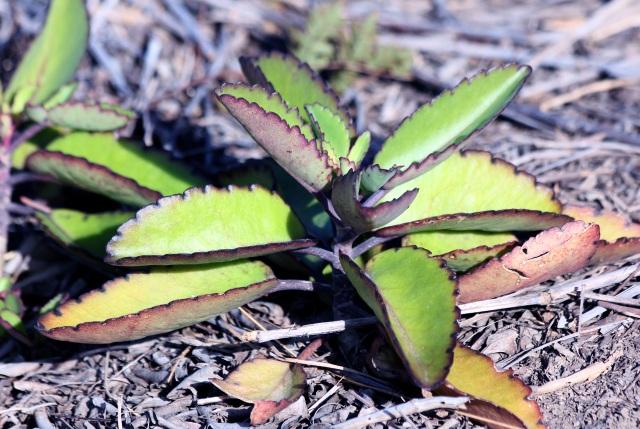 Bryophyllum pinnatum (Lam.) Oken.