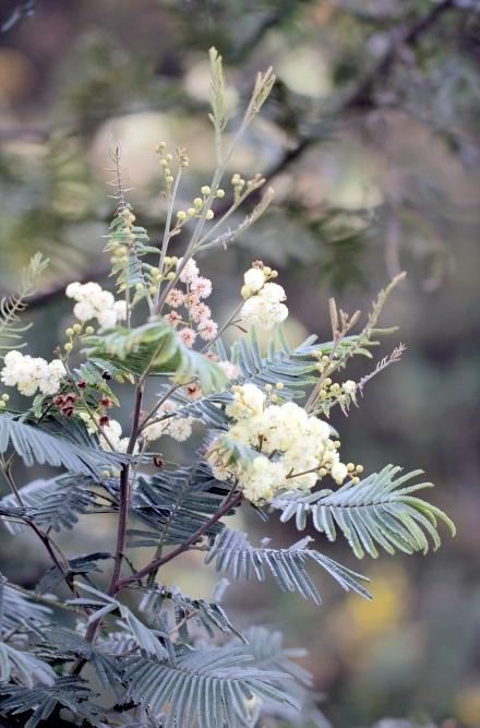Acacia mearnsii.