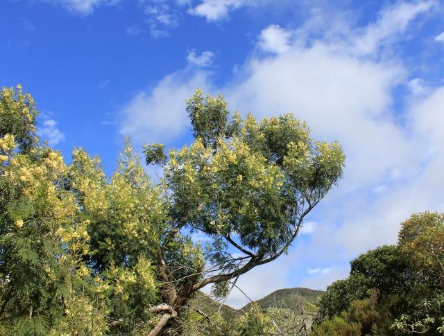 Acacia mearnsii De Wild.