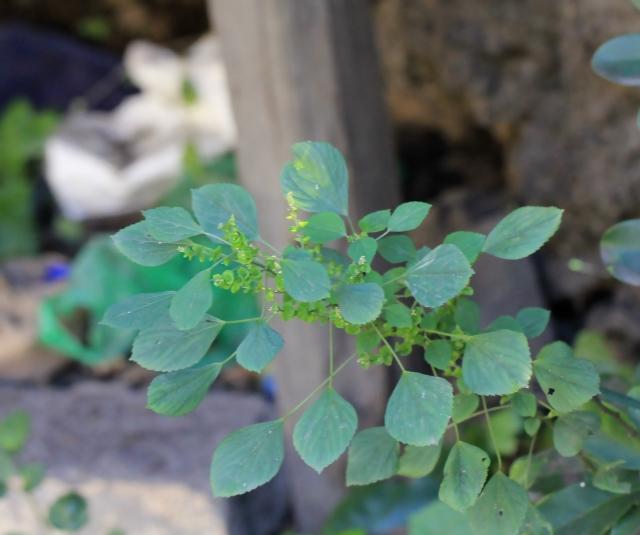Acalypha indica L.