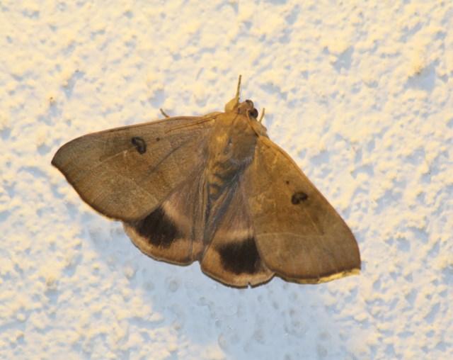 Achaea trapezoides