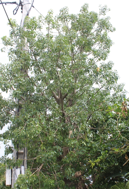 Adansonia za Baill. Baobab za.