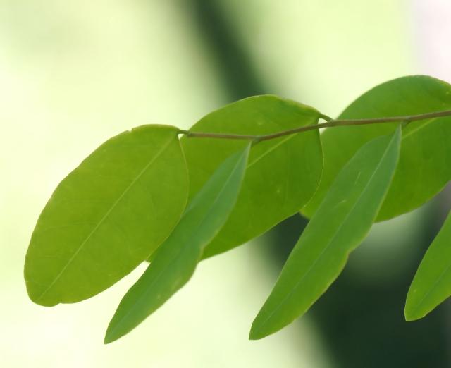 Adenanthera pavonina.
