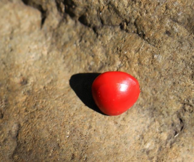 Adenanthera pavonina L. Graine.