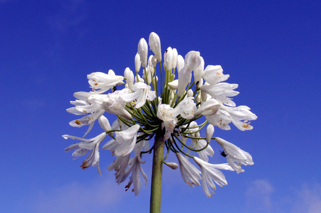 Fleur : Agapanthe blanche, Lis du Nil. Agapanthus