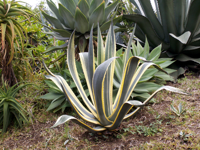 agave americana marginata. Black Bedroom Furniture Sets. Home Design Ideas