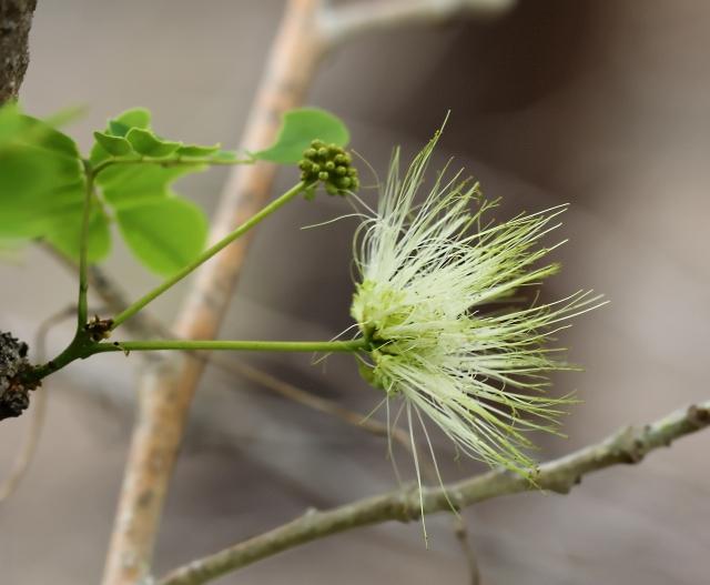 Albizia lebbeck (L.) Benth. Fleur.