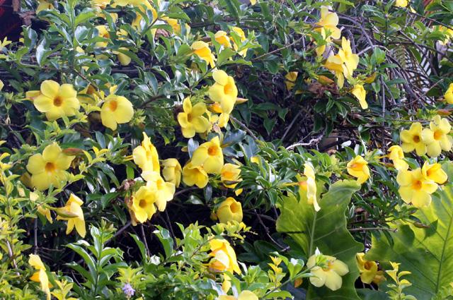 Allamanda jaune. Allamanda cathartica