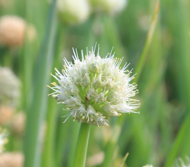 Allium cepa L. Oignon.