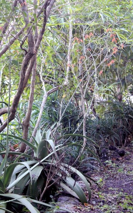 Aloe bulbillifera H.Perrier.
