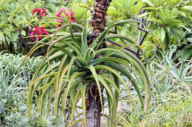 Aloe helenae. Aloe de Madagascar
