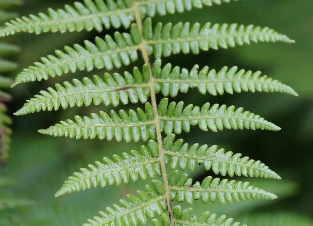 Amauropelta strigosa (Willd.) Holttum.