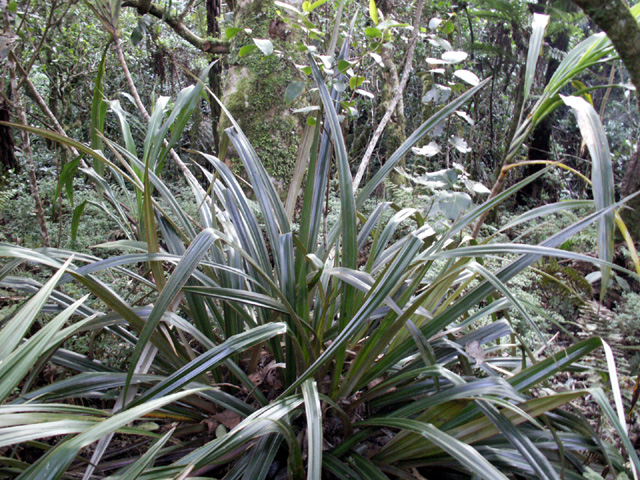Ananas marron Astelia hemichrysa Enémique de La Réunion et de l'île Maurice