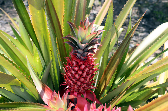 Fruit rouge Ananas requin ou ananas le diable.