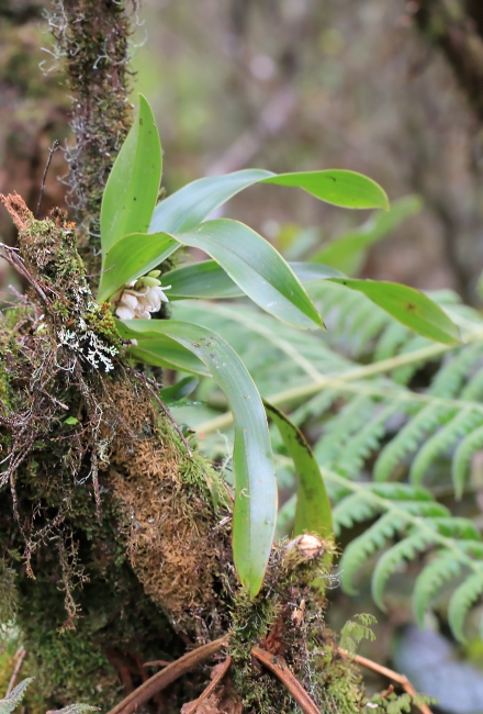 Angraecum bracteosum Balf. f. et S. Moore.