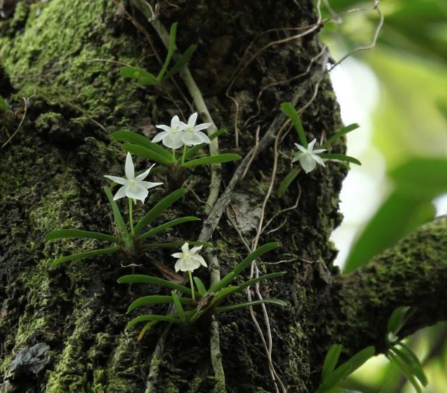 Angraecum cucullatum Thouars.