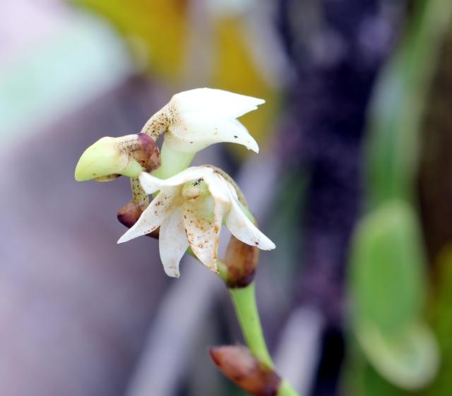 Angraecum striatum Thouars.